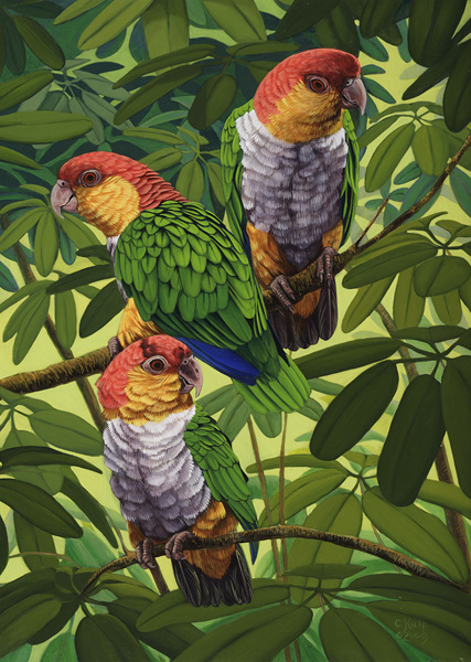 White Bellied Caiques